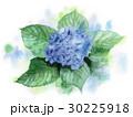 青紫の紫陽花 30225918