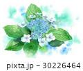 がくあじさい 紫陽花 あじさいのイラスト 30226464