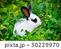 うさぎ 草 ウサギの写真 30229970