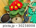 Blooming spring primulas in flower bed. 30238008