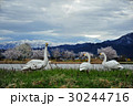 春・桜・白鳥 30244716
