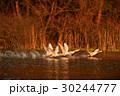 春・桜・白鳥 30244777