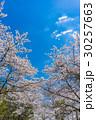 【山梨県】桜の木 30257663