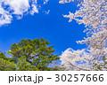 【山梨県】桜の木 30257666