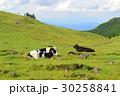 牛 うし 美ヶ原高原の写真 30258841