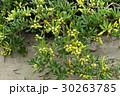 トベラの若い実 飯岡海岸 30263785