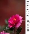 花 椿 植物の写真 30264371