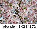 櫻花 30264572