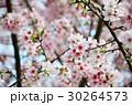 桜 さくら サクラの写真 30264573