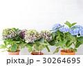 アジサイ 紫陽花 あじさいの写真 30264695