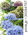 アジサイ 紫陽花 あじさいの写真 30264707