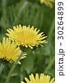 蒲公英 タンポポ 花の写真 30264899