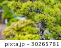 盆栽 植木 松の写真 30265781