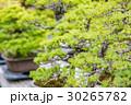 盆栽 植木 松の写真 30265782