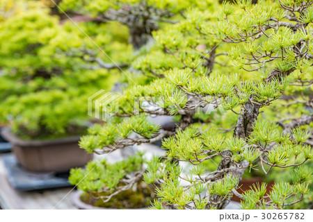 盆栽 30265782