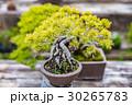 盆栽 植木 松の写真 30265783