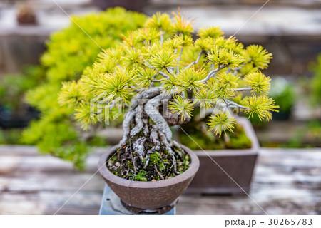 盆栽 30265783