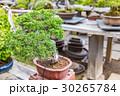 盆栽 植木 松の写真 30265784