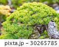 盆栽 植木 松の写真 30265785