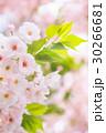 ピンク 春 桜の写真 30266681