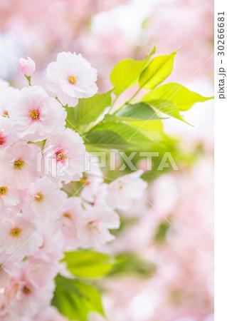 桜 30266681