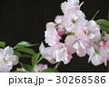 一才桜 30268586