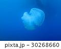 海 海中 くらげの写真 30268660