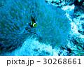海 海中 魚の写真 30268661
