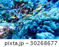 海 海中 さかなの写真 30268677