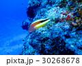 海 海中 さかなの写真 30268678