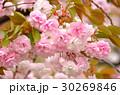 ヤエザクラ 花 春の写真 30269846