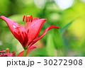 ゆり 花 花びらの写真 30272908