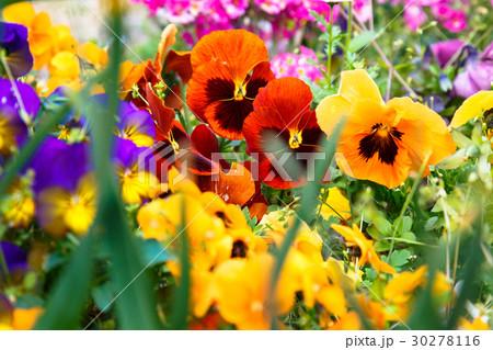 パンジーの花畑 30278116