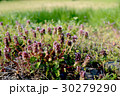 春を告げる花 30279290