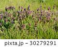 春を告げる花 30279291
