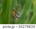 蜘蛛 長黄金蜘蛛 アオヤンマの写真 30279630