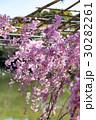 平安神宮 桜 枝垂れ桜の写真 30282261
