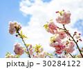 松月桜 大神ファーム 30284122