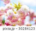 松月桜 大神ファーム 30284123