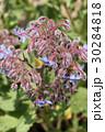 ボリジ ムラサキ科 花の写真 30284818