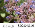 ボリジ ムラサキ科 花の写真 30284819
