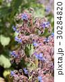 ボリジ ムラサキ科 花の写真 30284820
