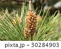 松 マツ科 マツ属の写真 30284903
