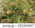 松 マツ科 マツ属の写真 30284907