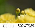 モッコウバラ 30287589