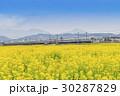 菜の花畑 小田急線 1000形 30287829