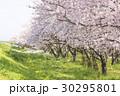 桜 花 満開の写真 30295801