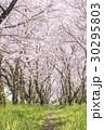 桜 花 桜並木の写真 30295803