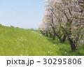 桜吹雪 桜 桜並木の写真 30295806