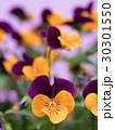 ビオラ 花 咲くの写真 30301550
